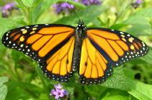 butterfly_monarch.jpg