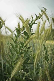 wheat-and-weeds.jpg