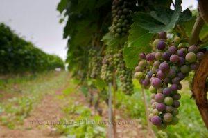 grape-vineyard